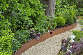Raised beds edged with Cor-Ten steel, curving gravel path, Tulipa 'Queen of Night', Heuchera 'Plum Pudding', Euphorbia amygdaloides var. robbiae, box ball