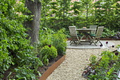 Raised beds edged with Cor-Ten steel, gravel path leading to wooden table and chairs on patio, hornbeam hedge, Tulipa 'Queen of Night' and 'White Triumphator', Heuchera 'Plum Pudding', Euphorbia amygd...