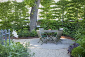 Table and chairs on circular patio in London front garden, hornbeam screen, Tulipa 'White Triumphator'