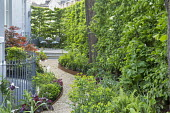 Curving gravel path leading to table and chairs on raised patio in shady front garden, Cor-Ten steel border edging, hornbeam hedge, Dryopteris affinis 'Cristata The King', Tulipa 'White Triumphator',...