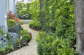 Curving gravel path leading to table and chairs on raised patio in shady front garden, Cor-Ten steel border edging, hornbeam hedge, Dryopteris affinis 'Cristata The King', Tulipa 'Queen of Night' and...