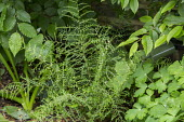 Dryopteris filix-mas 'Linearis Polydactyla', aquilegia and hornbeam leaves