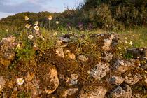 Wildflowers on dry-stone wall