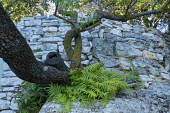 Syncarpia glomulifera and ferns growing out of stone wall