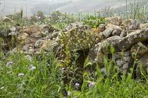 Wildflowers around dry-stone wall in by Sicilian roadside
