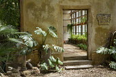 Monstera deliciosa, doorway to orangery