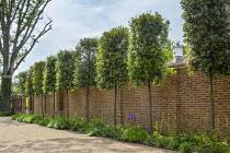 Pleached Quercus ilex screen by brick wall, gravel driveway, Allium 'Globemaster'