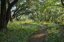 Path through oak woodland carpeted with Wild garlic