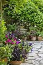 Trachelospermum jasminoides climbing over stair railings, fuchsias, pelargonium and petunias in terracotta pots on crazy paving patio