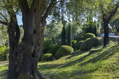 Clipped mounds of Pistacia lentiscus amongst olive trees, Cupressus sempervirens