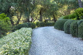 Trachelospermum jasminoides trained as groundcover, clipped Pistacia lentiscus, gravel path, olive trees