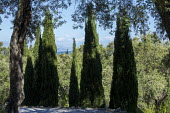 Cupressus sempervirens, view to sea