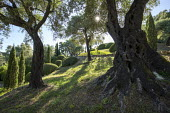 Olive tree grove, clipped mounds of Pistacia lentiscus