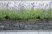 Lavender in raised bed, dry-stone wall