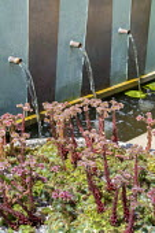 Sempervivum 'Van der Steen' in container, water spout fountains