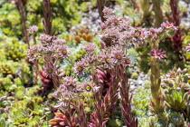 Sempervivum 'Van der Steen' in flower