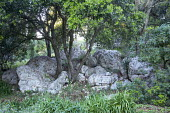 Pittosporum growing out of rock