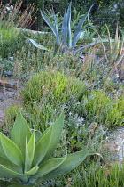 Convolvulus sabatius, Bulbine frutescens, Agave attenuata, Agave americana
