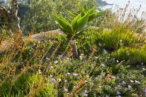 Convolvulus sabatius, Bulbine frutescens, Agave attenuata
