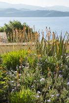 Succulent border by sea, Convolvulus sabatius, Bulbine frutescens, Agave attenuata