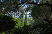 View through olive tree to sea, Cupressus sempervirens