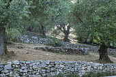Olive tree grove, low stone walls