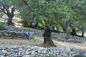 Olive trees, low stone walls