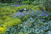 Raised square infinity pool surrounded by carpet of Alchemilla mollis, geraniums and brunnera