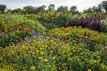 Calendula officinalis, Zinnia elegans, sunflowers, amaranthus, Ageratum houstonianum 'Blue Horizon', Tithonia rotundifolia 'Fiesta del Sol', Helianthus annuus 'Ring of Fire'