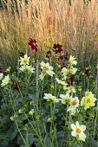 Dahlia, Dahlia 'Inglebrook Jill', Calamagrostis x acutiflora 'Karl Foerster'