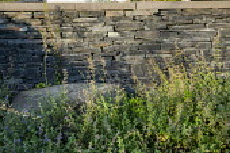 Dry-stone wall, nepeta