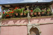 Pelargoniums in terracotta pots on mediterranean terrace, pink painted wall