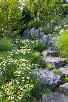 Contemporary rock garden, drift of Echinacea purpurea 'White Swan', Pennisetum villosum