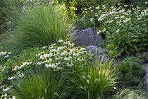 Contemporary rock garden, drift of Echinacea purpurea 'White Swan', Miscanthus sinensis 'Gracillimus', Pennisetum villosum