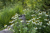 Contemporary rock garden, drift of Echinacea purpurea 'White Swan', Miscanthus sinensis 'Gracillimus'