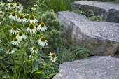 Contemporary rock garden, Echinacea purpurea 'White Swan'