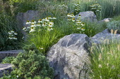 Contemporary rock garden, drift of Echinacea purpurea 'White Swan', Pennisetum villosum