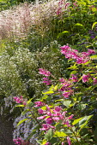 Salvia involucrata, Miscanthus sinensis 'Rotsilber', Erigeron annuus, Aster pyrenaeus 'Lutetia'