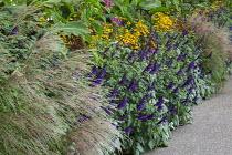 Plectranthus argentatus, Salvia 'Amistad', Heliopsis helianthoides var. scabra 'Summer Nights', Miscanthus sinensis 'Ferner Osten'