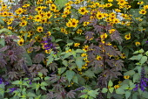 Hibiscus acetosella 'Mahogany Splendor', Salvia 'Amistad', Heliopsis helianthoides var. scabra 'Summer Nights'