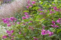Salvia involucrata, Miscanthus sinensis 'Rotsilber'