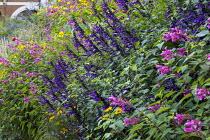 Salvia 'Amistad', Salvia involucrata, repeat planting