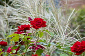 Rosa 'Florence Mary Morse', miscanthus