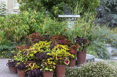 Collection of coleus in terracotta pots on steps by sundial, Solenostemon 'Wizard Pineapple', Festival Dance', 'Chocolate Mint', 'Kong Rose' and 'Black Dragon', Erigeron karvinskianus