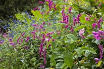 Persicaria orientalis, Salvia guaranitica 'Black and Blue'