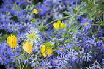 Eurybia × herveyi syn. Aster macrophyllus 'Twilight', Clematis 'Lambton Park'