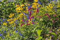 Persicaria orientalis, Salvia guaranitica 'Black and Blue', Rudbeckia laciniata 'Herbstsonne'