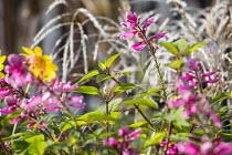 Salvia involucrata, miscanthus