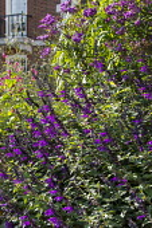 Salvia 'Amistad', Vernonia crinita 'Mammuth', Persicaria orientalis