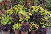 Collection of coleus displayed in terracotta pots on steps, Solenostemon 'Wizard Pineapple', Festival Dance', 'Chocolate Mint', 'Kong Rose' and 'Black Dragon'